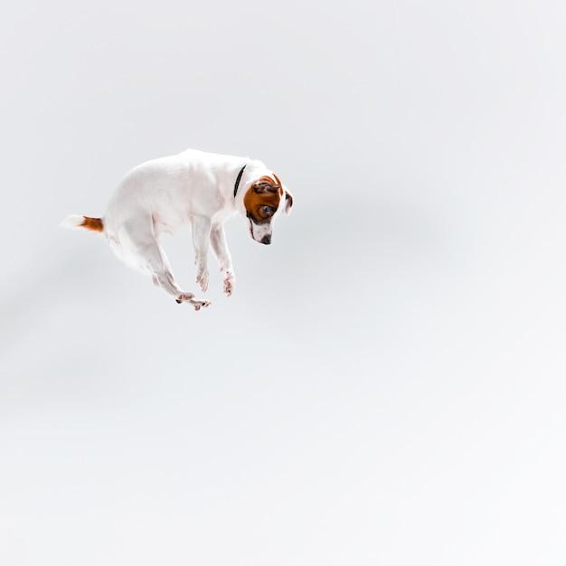 Pequeno jack russell terrier em branco Foto gratuita
