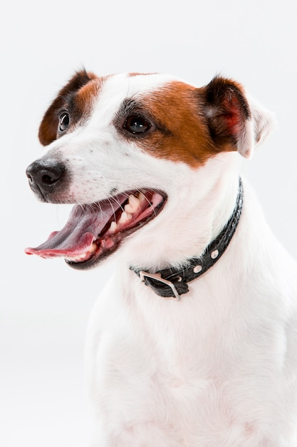 Pequeno jack russell terrier sentado Foto gratuita