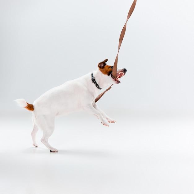 Pequeno jack russell terrier Foto gratuita