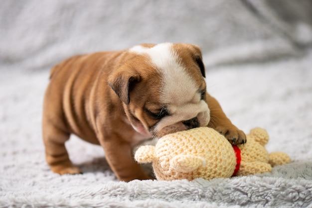 Filhote de bulldog inglês brincando com brinquedo em um tapete peludo cinza