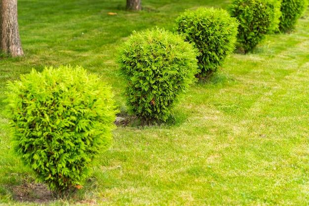 Pequenos arbustos no gramado, tuya arbustos Foto Premium
