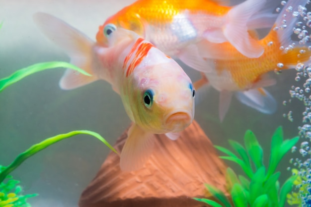 Pequenos peixes no aquário ou aquário Foto Premium