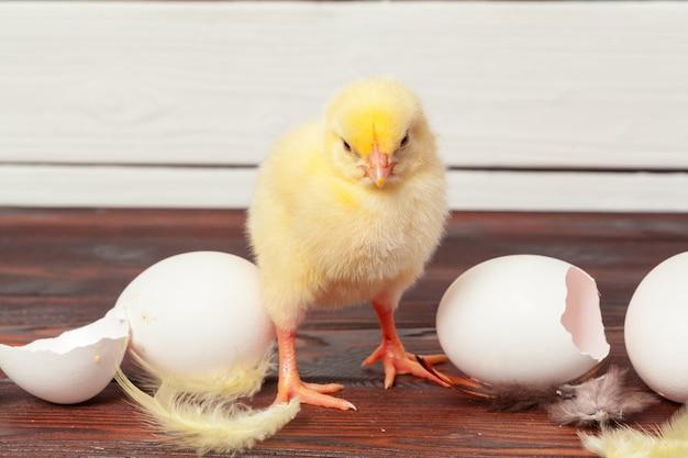 Pequenos pintos amarelos e cascas de ovos Foto Premium