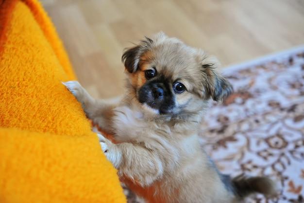 Pequinês, cão-leão, pelchie, cão, peke, é, um, antiga, raça, de, brinquedo Foto Premium