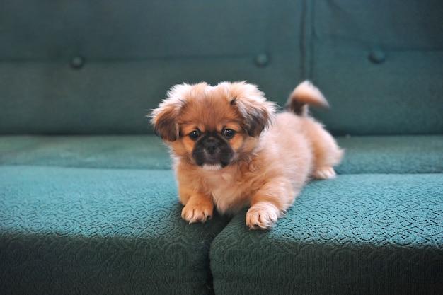 Pequinês. moda cão. cães pequenos bonitos vestidos e posando Foto Premium