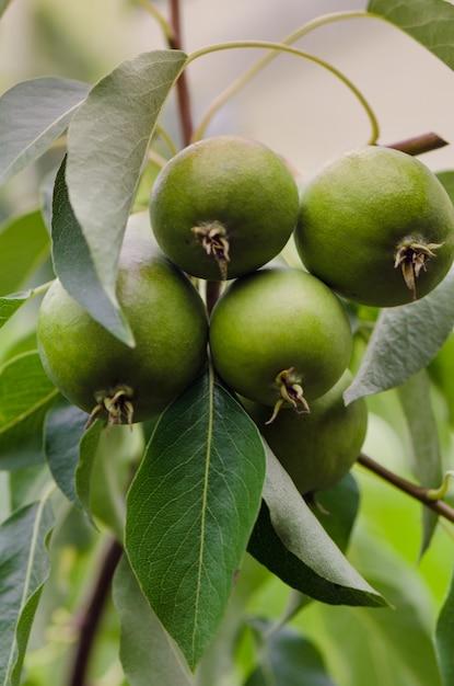 Pêra verde do ramo da árvore Foto Premium