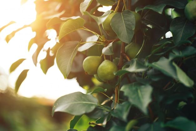Peras maduras penduradas em um galho de árvore, comida vegetariana, comida orgânica. Foto Premium