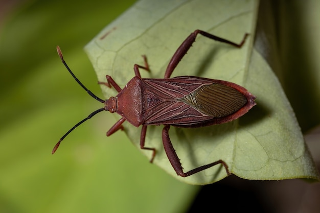 Percevejo adulto da espécie athaumastus haematicus Foto Premium