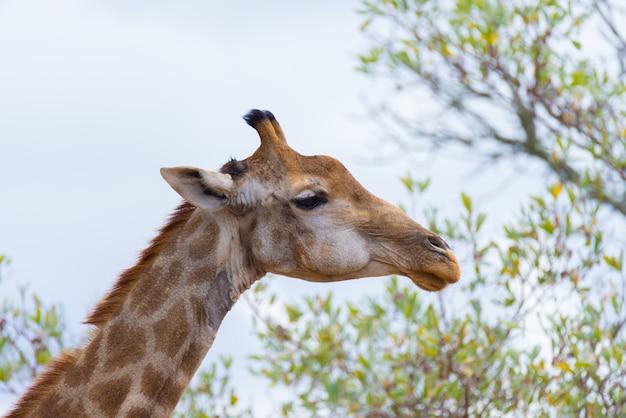 Perfil de cabeça e pescoço de girafa Foto Premium