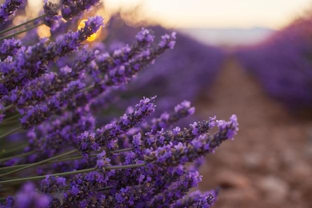 Perfumado, lavanda, flores, em, bonito, amanhecer, valensole, provence, frança, cima Foto Premium