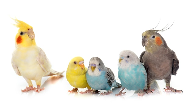 Periquito de estimação comum e cockatiel Foto Premium