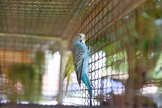 Periquito de papagaio de periquito ou periquito de periquito australiano comum na fazenda de aves de gaiola Foto Premium