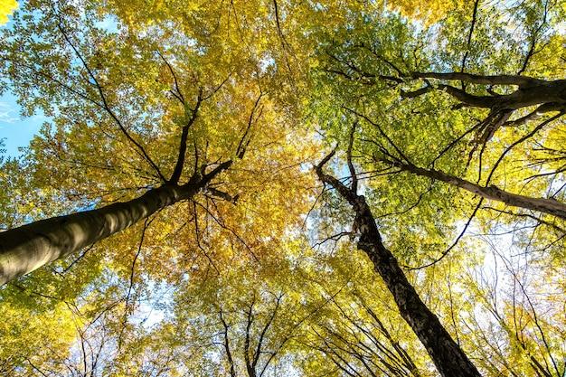 Perspectiva de baixo para cima vista da floresta de outono com folhas brilhantes de laranja e amarelas. Foto Premium