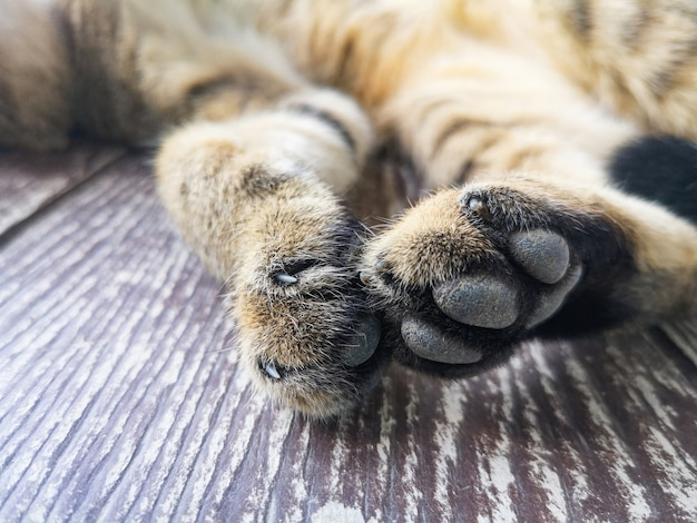 Pés de gato - close-up de patas de gato de garra e pé Foto Premium