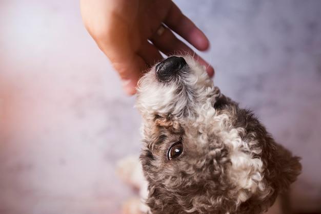 Pessoa colheita, tapinhas, filhote cachorro encaracolado Foto gratuita