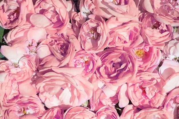 Pétalas de chá de rosa. produção de óleo de rosa. cultivo industrial de óleo de rosa e produção de óleo de rosa na bulgária Foto Premium