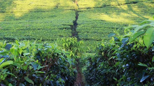 Photoshoot natural do jardim de chá Foto Premium