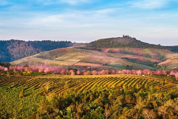 Phu-lom-lo, terreno phu-lom-lo, uma atração turística para visitar a wild himalayan cherry Foto Premium