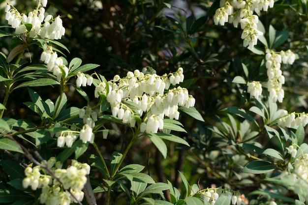 Pieris formosa, andromedas, fetterbushes ou pieris japonica Foto Premium