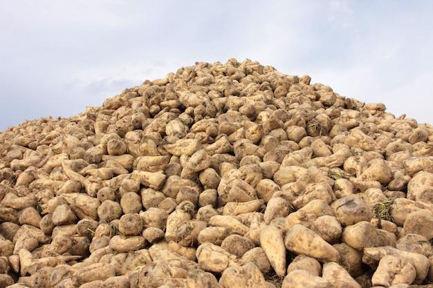 Pilha de beterraba no campo após a colheita Foto Premium
