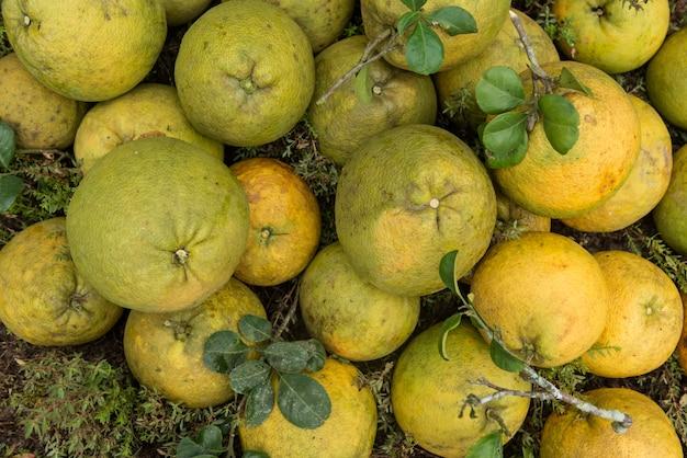 Pilha de pomeloes frescos no jardim do pomelo. Foto Premium