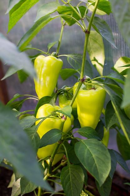 Pimentão crescendo no jardim Foto Premium