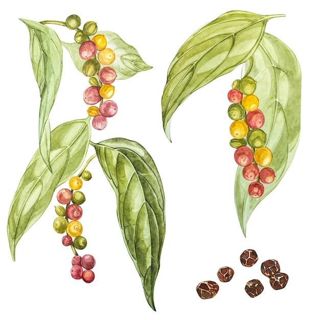 Pimentas pretas mão desenhada ilustração aquarela. desenho botânico feito à mão com lápis aquarela. Foto Premium