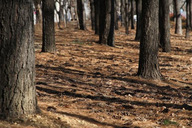 Pinheiros e pinheiros. deite no chão no outono. Foto Premium