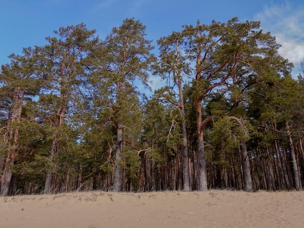 Pinheiros na costa arenosa do golfo da finlândia Foto Premium