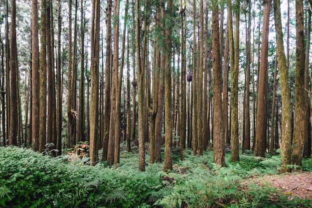 Pinheiros na floresta em alishan national forest recreation area no condado de chiayi Foto Premium