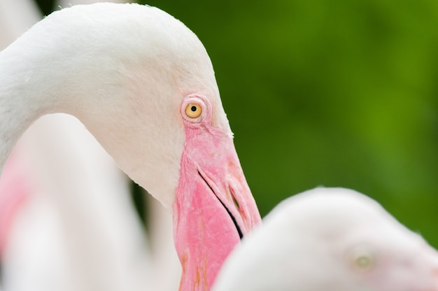 Pink flamingo de perto, tem uma bela coloração de penas, Foto Premium