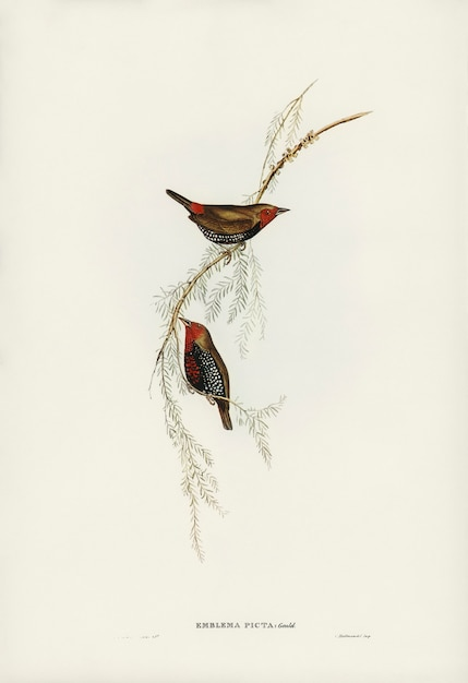 Pintado finch (emblema picta) ilustrado por elizabeth gould Foto gratuita