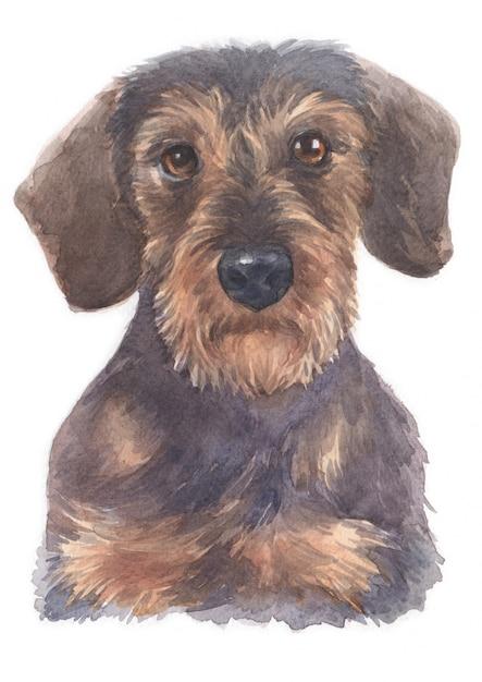 Pintura em aquarela de dachshund miniatura Foto Premium