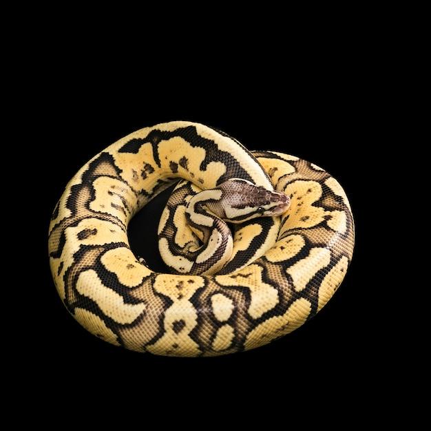Pitão de bola fêmea. vaga-lume morph ou mutação Foto gratuita