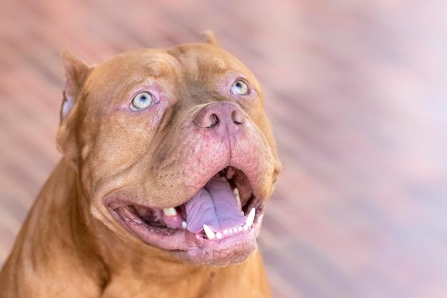 Pitbull dog olhando para a vítima com um olho determinado. Foto Premium