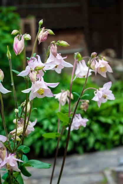 Plae rosa aquilegia floresce closeup no jardim primavera. Foto Premium