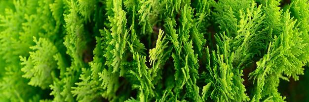 Plano de fundo do closeup lindo verde natal folhas de árvores thuja. thuja occidentalis é uma árvore conífera perene. bandeira Foto Premium