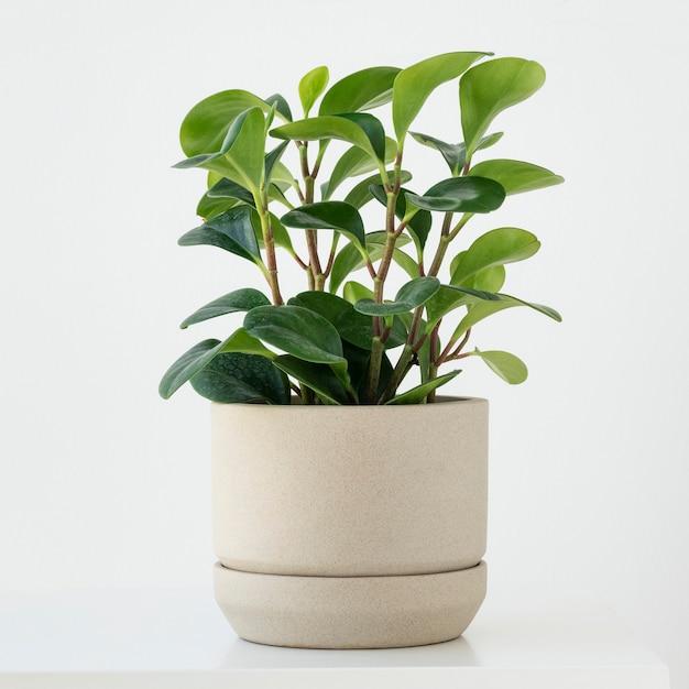 Planta cara de pimenta em um pequeno vaso Foto gratuita