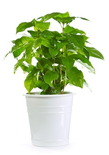 Planta de café em uma panela isolada Foto Premium