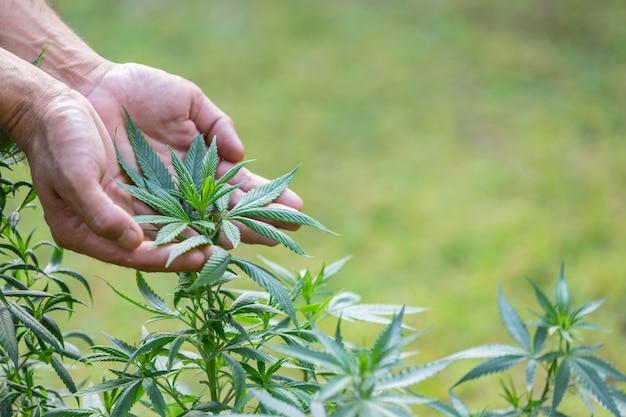 Planta de cannabis Foto gratuita