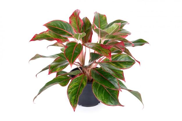 Planta de casa de aglaonema modestum com folhas cor-de-rosa no flowerpot preto Foto Premium