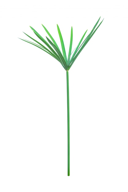 Planta de guarda-chuva, papiro, cyperus alternifolius. isolado. com traçado de recorte. Foto Premium