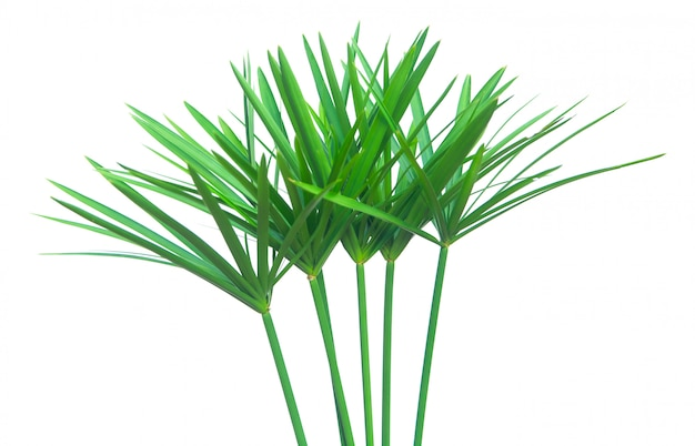 Planta de guarda-chuva, papiro, cyperus alternifolius. isolado Foto Premium