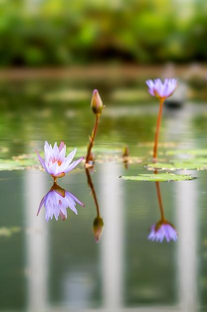 Planta de lótus localizada em bandung, na indonésia Foto Premium