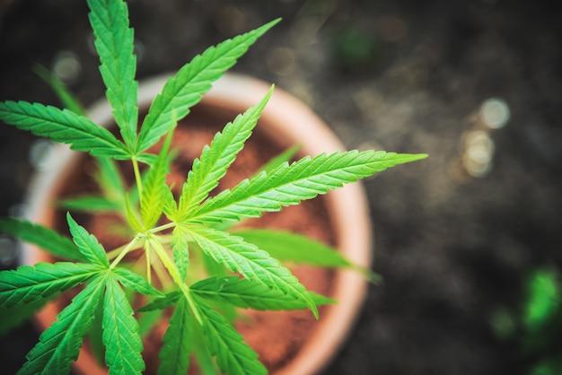 Planta de marijuana na droga do cannabis da opinião superior do potenciômetro erval. Foto Premium