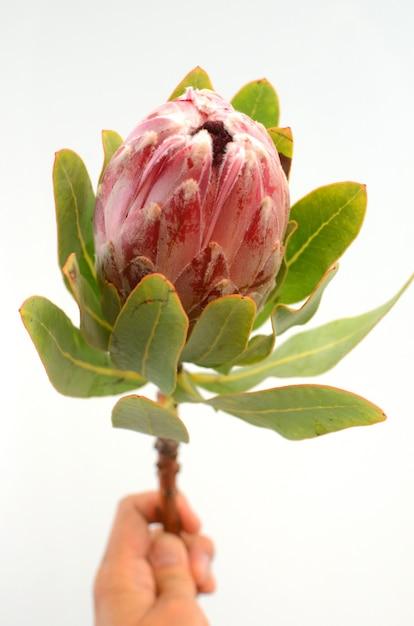 Planta de protea rei vermelho sobre fundo branco Foto Premium