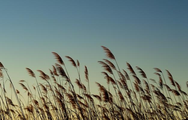 Planta de trigo com o nascer do sol Foto Premium