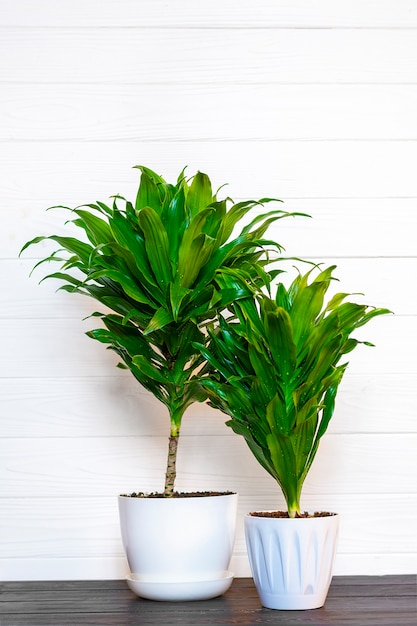 Planta dracaena perfumada verde isolada no fundo branco na mesa de madeira Foto Premium