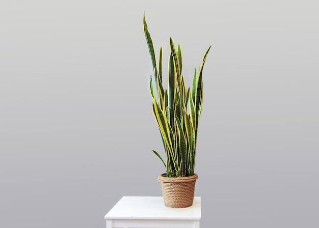 Planta em vaso sansevieria em um fundo cinza decoração para casa cópia espaço decoração em estilo parente Foto Premium