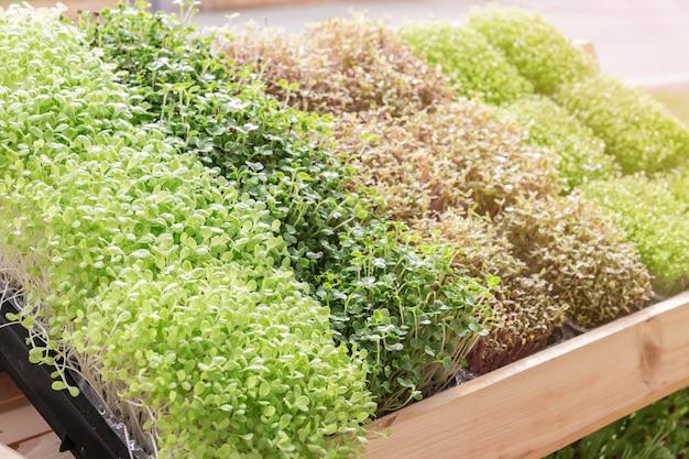 Planta jovem, ou, girassol, broto, em, berçário, bandeja Foto Premium